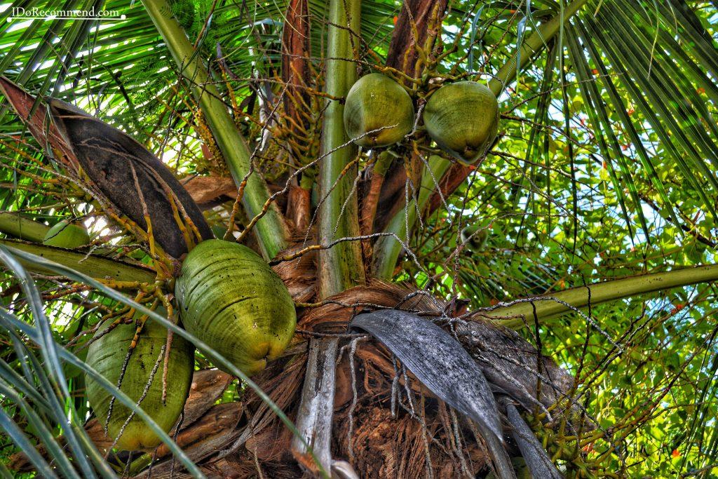 Seychelles_La_Digue_coconut
