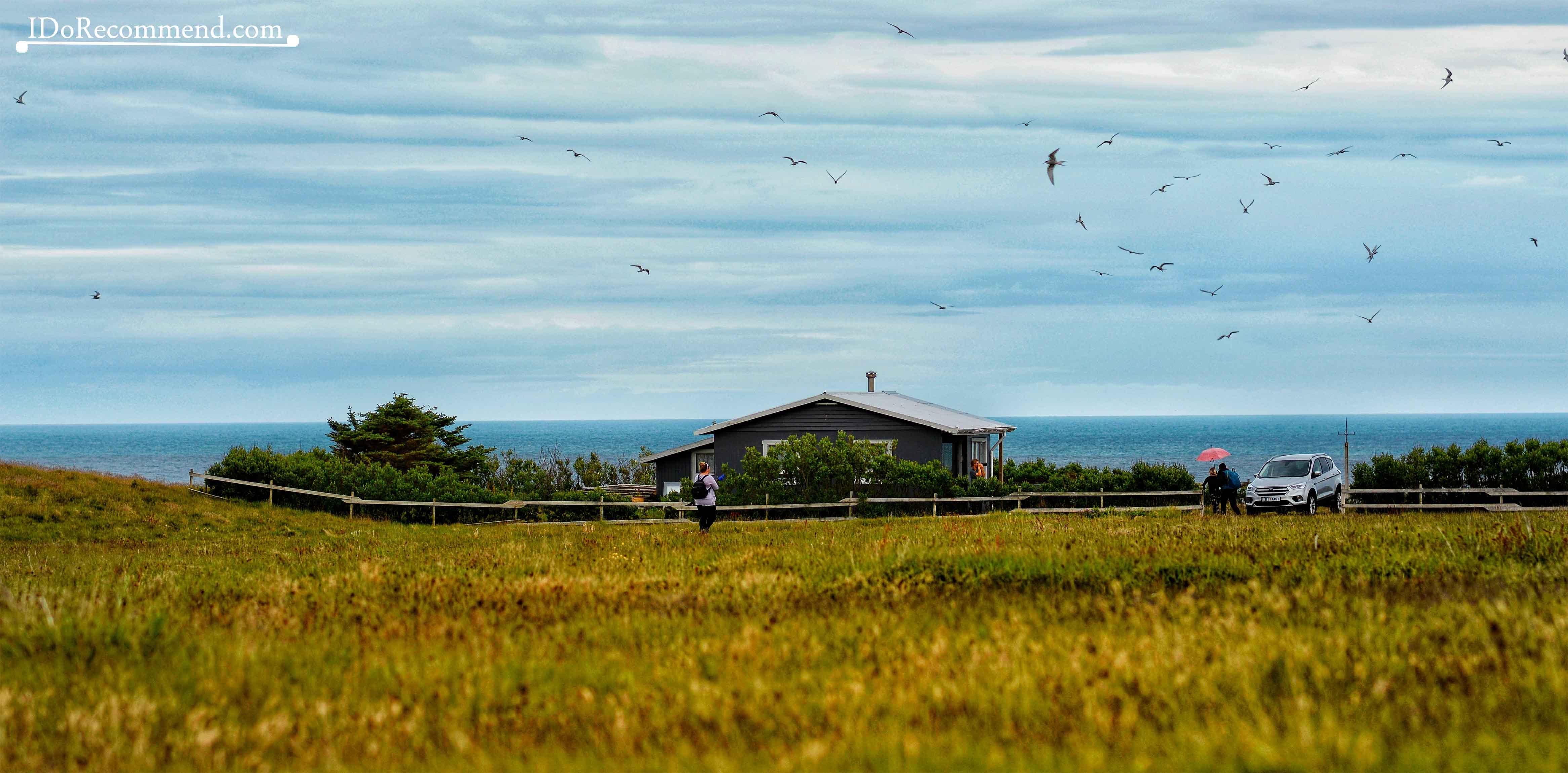Terns in Arnarstapi City